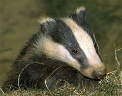 Mortally curious badger